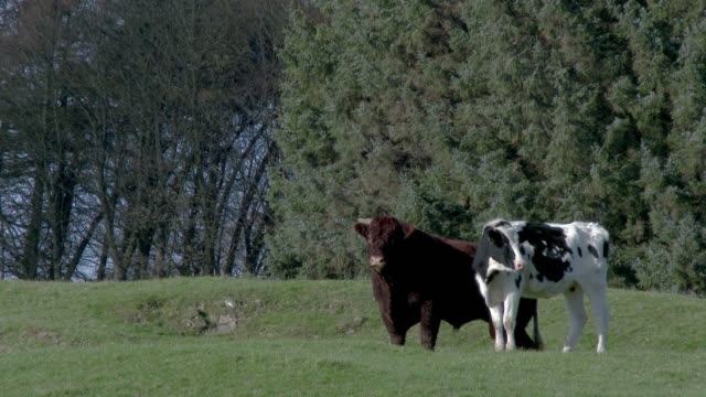 Dairy cow and brown bull standing in a field