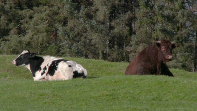 Milchkuh und braun Bull stehen in einem Feld