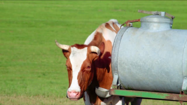 A dairy cow chews her cud as she stands near a water tank.