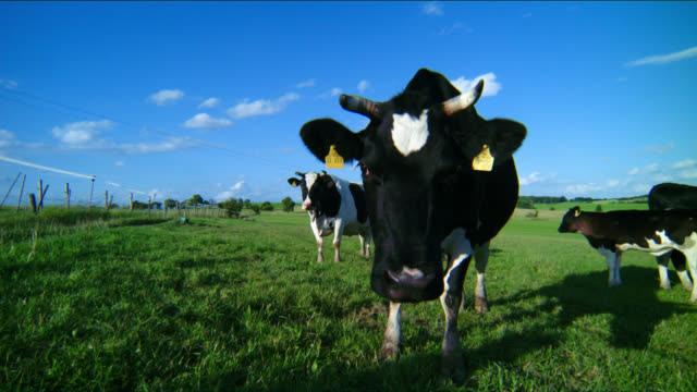 A dairy cow displays its ear tags as it stands in a pasture.