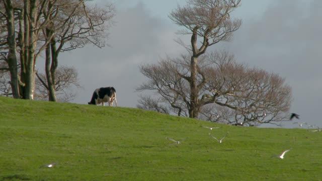 In einem Feld mit Vögel fliegen herum grasen Kühe