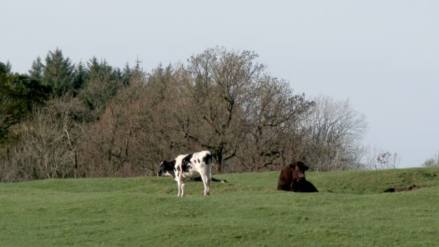 dairy cow standing next to a brown bull in a field - johnfscott stock videos & royalty-free footage