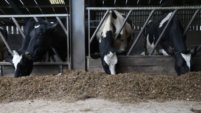 dairy cow wears zelp's methane capturing face mask at a research cattle farm in potters bar, london, united kingdom, on friday, february 21, 2020. - kuh stock-videos und b-roll-filmmaterial