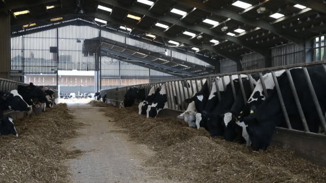 dairy cow wears zelp's methane capturing face mask at a research cattle farm in potters bar, london, united kingdom, on friday, february 21, 2020. - burping stock videos & royalty-free footage