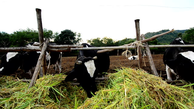 dairy cows at farm ,thailand - human nose stock videos & royalty-free footage