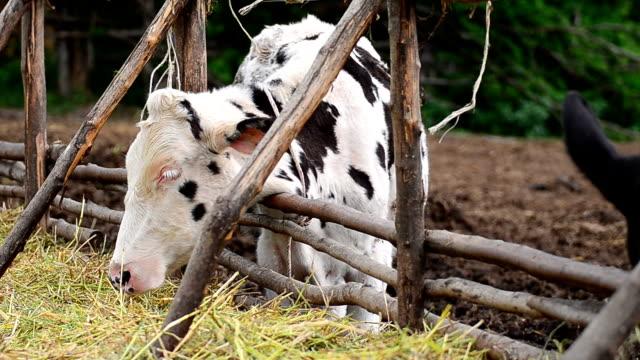 乳製品牛の農場、タイ - 人間の鼻点の映像素材/bロール