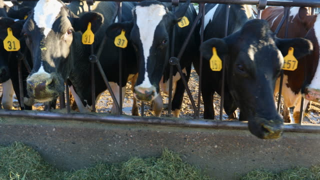 vídeos de stock e filmes b-roll de dairy cows being fed hay on a farm - gado holstein friesian