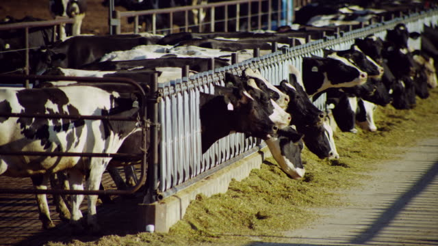 dairy cows confined in large high density feed lot eating grain - domestic cattle stock videos & royalty-free footage