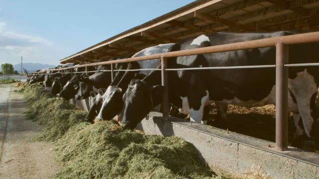 dairy cows eating - livestock stock videos & royalty-free footage
