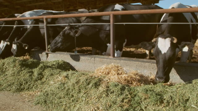 dairy cows eating - cow stock videos & royalty-free footage