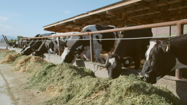 Dairy Cows Eating