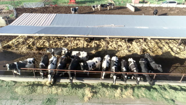 dairy cows feeding on farm aerial view - cattle stock videos & royalty-free footage