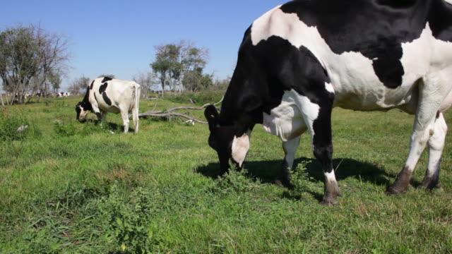 Dairy cows graze in a feild