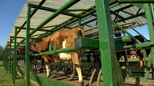 Dairy cows in mobile milking unit on farm in Basingstoke
