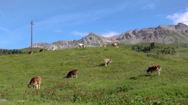 Dairy cows in mountain pasture