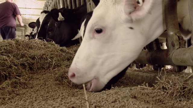 dairy cows in stalls - medium group of animals stock videos & royalty-free footage