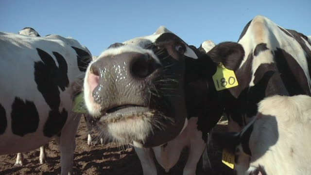 CU, Dairy cows sniffing camera, Modesto, California, USA