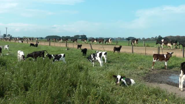 dairy cows - milk cow stock videos & royalty-free footage
