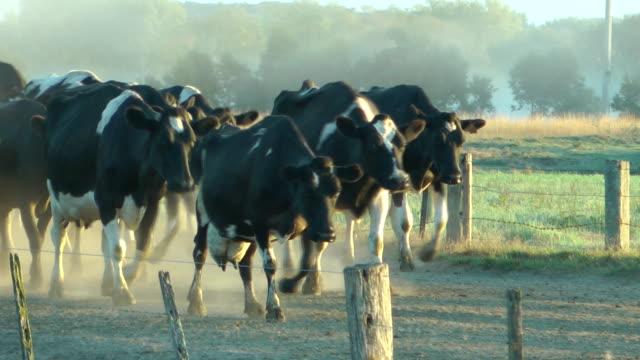 vídeos de stock, filmes e b-roll de vacas leiteiras - victoria austrália
