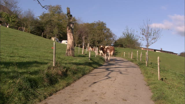 dairy cows walk along a dirt road in bern, switzerland. - cow stock videos & royalty-free footage