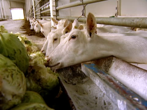 dairy farm - cabbage stock videos and b-roll footage