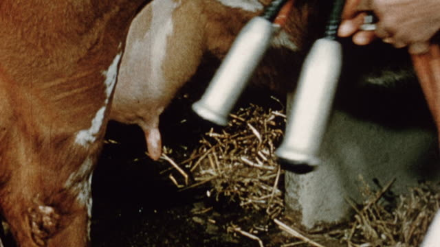 1975 montage dairy farmer attaching mechanical milking to cow's teats / united kingdom - dairy product stock videos & royalty-free footage