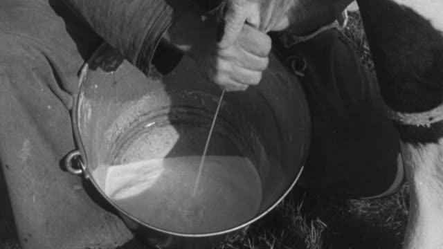 1955 montage dairy farmer milking cow by hand and lame cattle standing and limping in barnyard / united kingdom - milchprodukte stock-videos und b-roll-filmmaterial