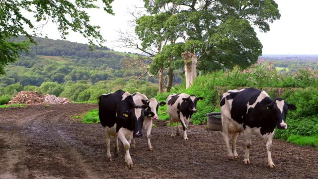 Dairy Herd