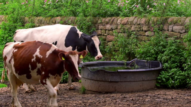 dairy herd - domestic cattle stock videos & royalty-free footage