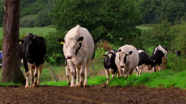 dairy herd - medium group of animals stock videos & royalty-free footage