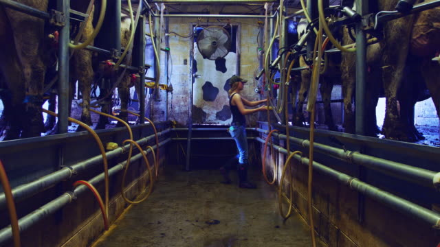 Dairy Worker Sterilizing Udders Before Milking