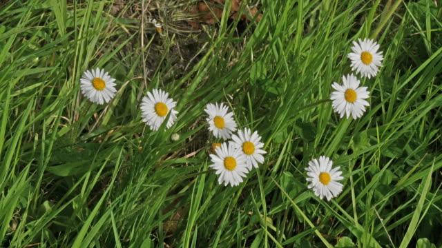 vidéos et rushes de daisies, bellis perennis, normandy, real time 4k - normandie