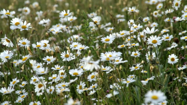 vidéos et rushes de daisies blow in the wind in a field in germany. - marguerite
