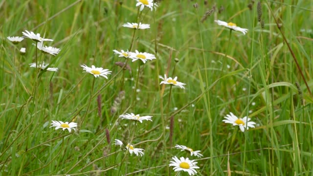 daisies gently moving in a wildflower meadow - david johnson stock videos & royalty-free footage