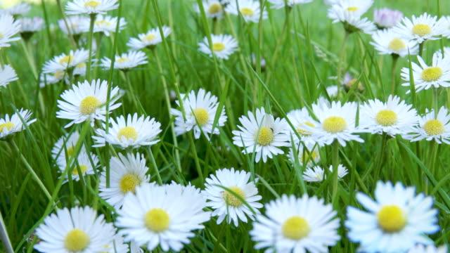 vidéos et rushes de daisies loop - bouton de fleur