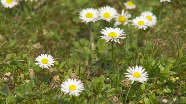 HD: Daisies on a meadow