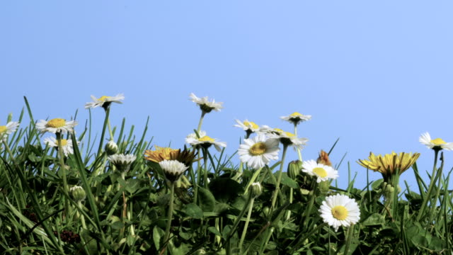 daisies, timelapse - daisy stock videos & royalty-free footage