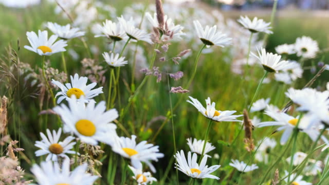 daisies - meadow stock videos & royalty-free footage