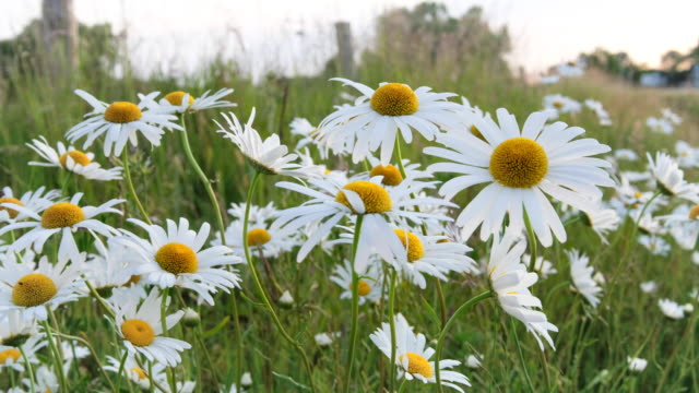 daisies - daisy stock videos & royalty-free footage