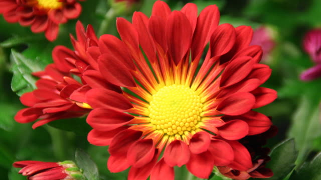 daisy blooming - american chrysanthemum - flower head stock videos & royalty-free footage