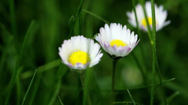 Daisy-Muster