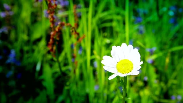 HD: Daisy Blossom