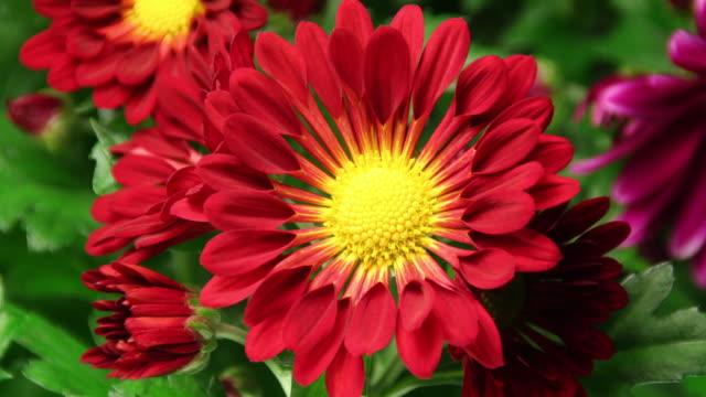 vídeos de stock e filmes b-roll de margarida flores a desabrochar 4 k - prunus taihaku