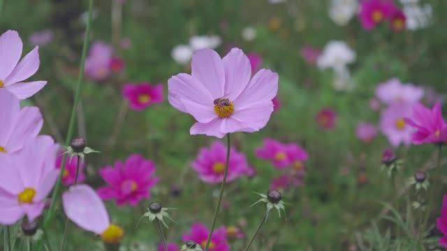daisy flower in summer garden,Northern Ireland