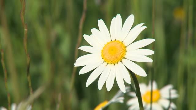 vídeos de stock e filmes b-roll de hd: flor da margarida-dos-campos - estame