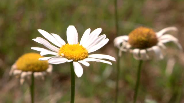 daisy flower - ståndare bildbanksvideor och videomaterial från bakom kulisserna