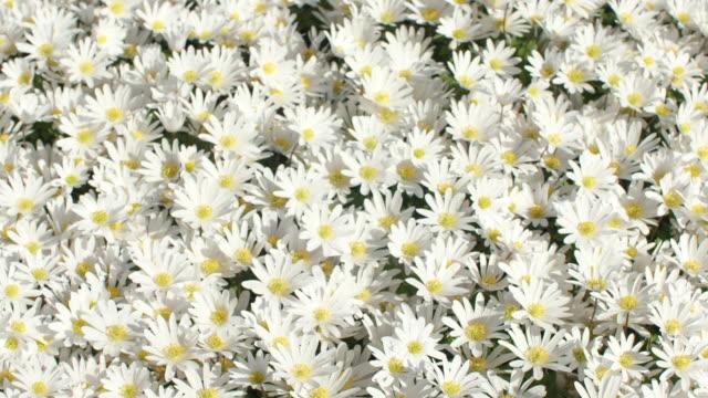 デイジーの花 - ベリス・ペレニス - デイジー点の映像素材/bロール