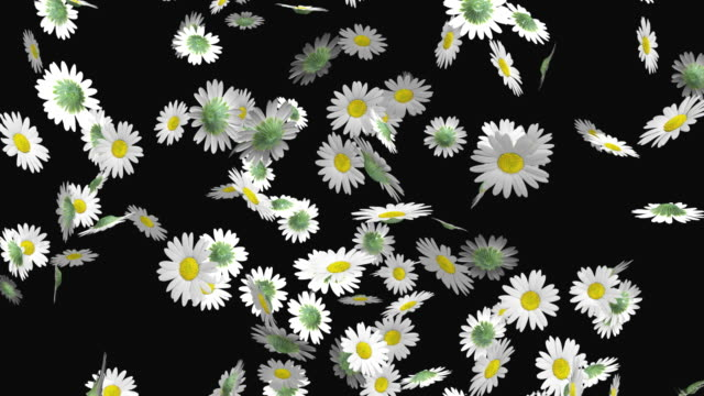 ms daisy flowers falling against black background / athens, greece - daisy stock videos & royalty-free footage