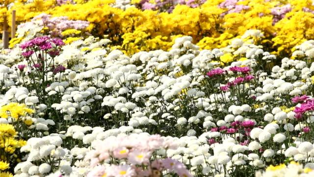 デイジー花(菊) - 雌しべ点の映像素材/bロール