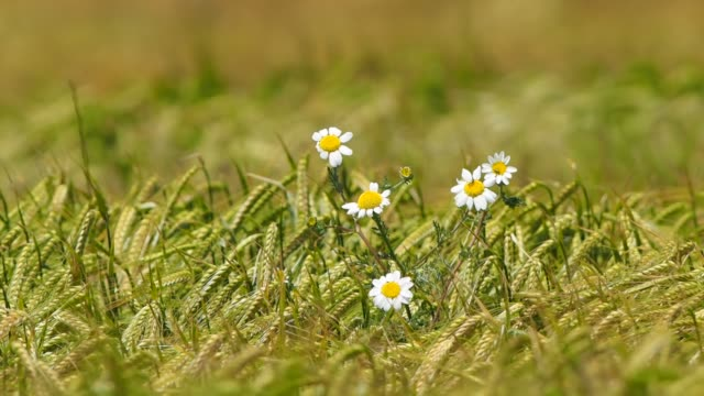 a daisy flowers with wheat plants moving wave-shaped by the wind. - comunidad foral de navarra stock videos and b-roll footage